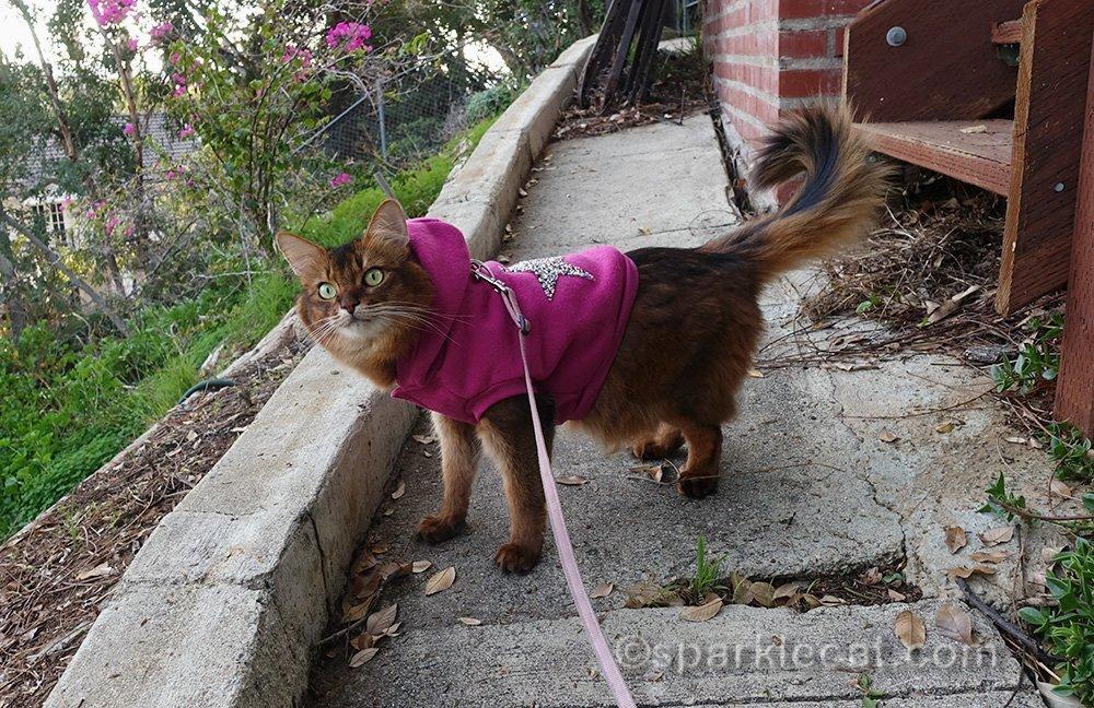 somali cat on a leash wearing raspberry hoodie