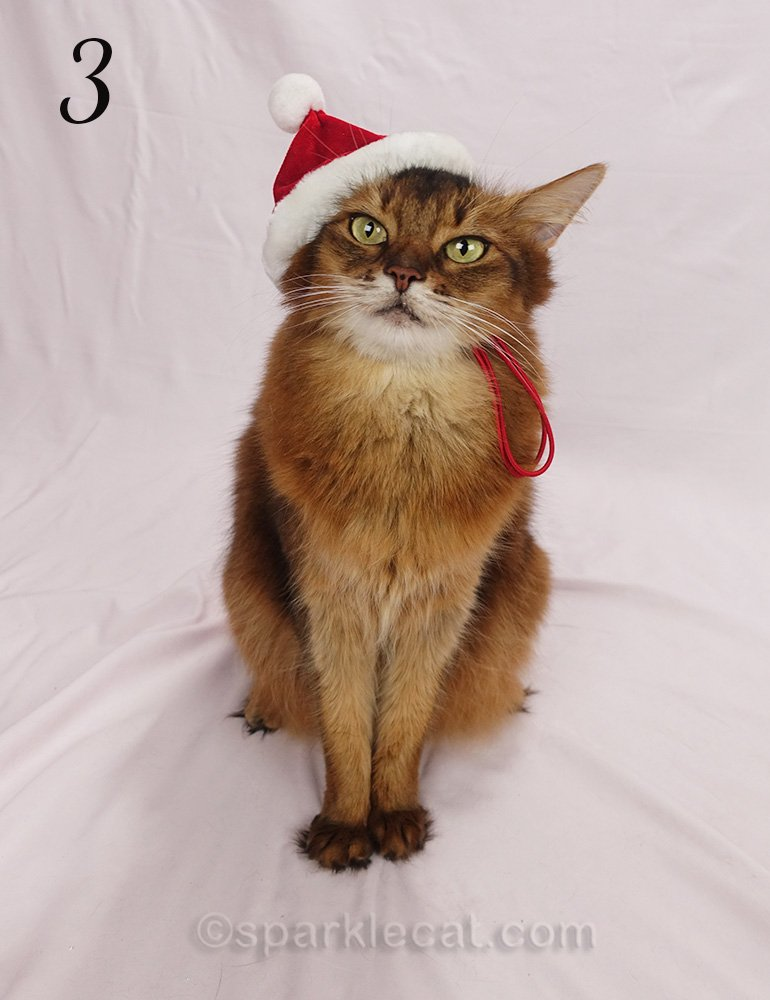 somali cat wearing non-floppy santa cat hat