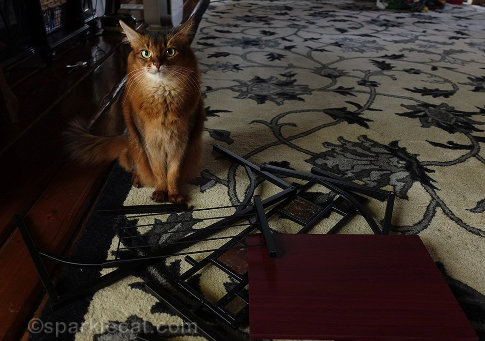 Somali cat with side table parts that need assembly