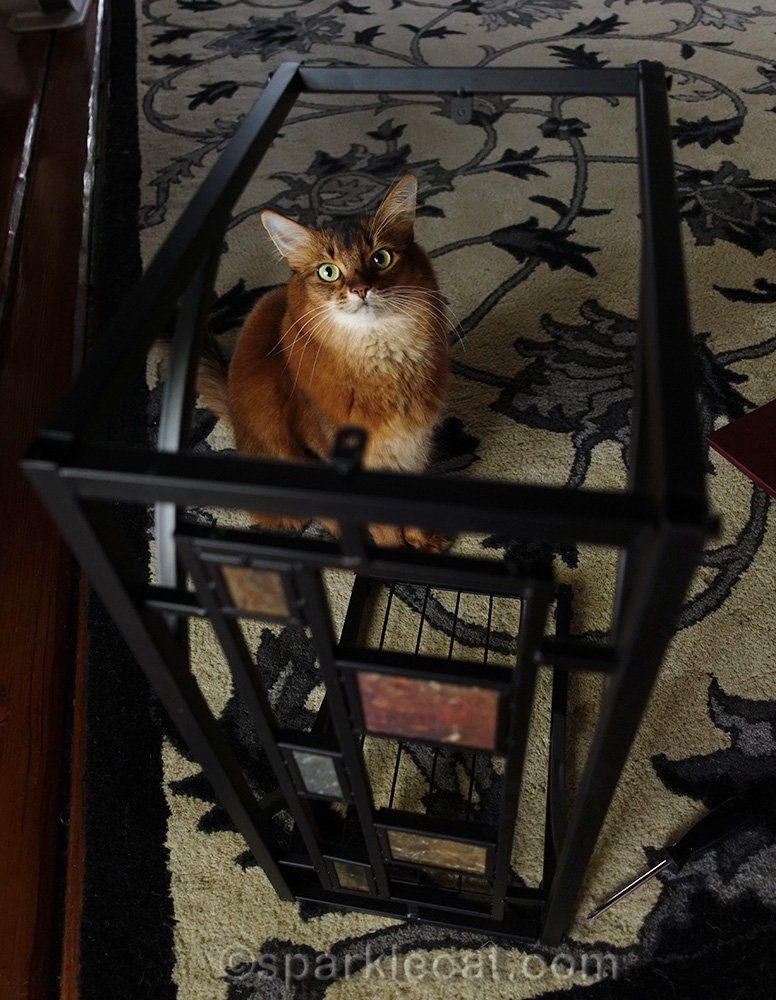 somali cat looking at camera through partly assembled side table