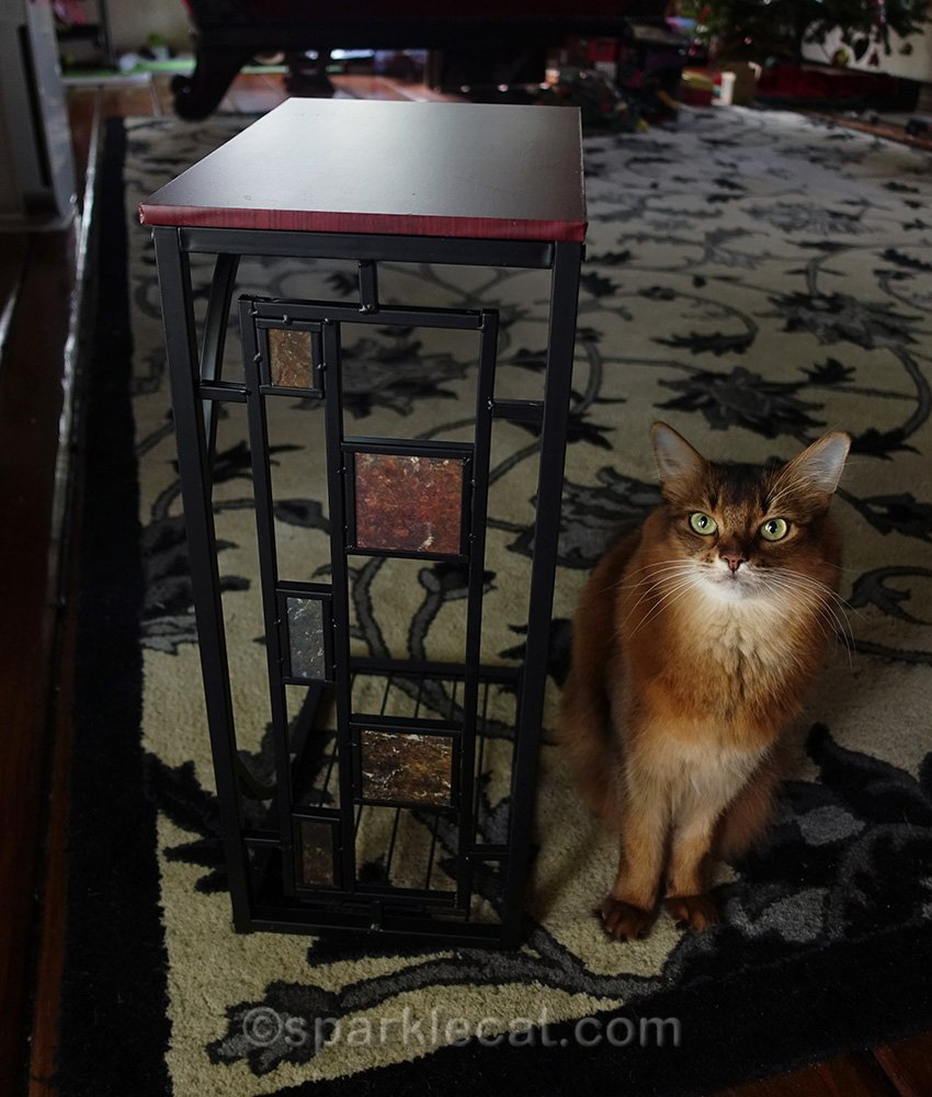somali cat posing by finished side table