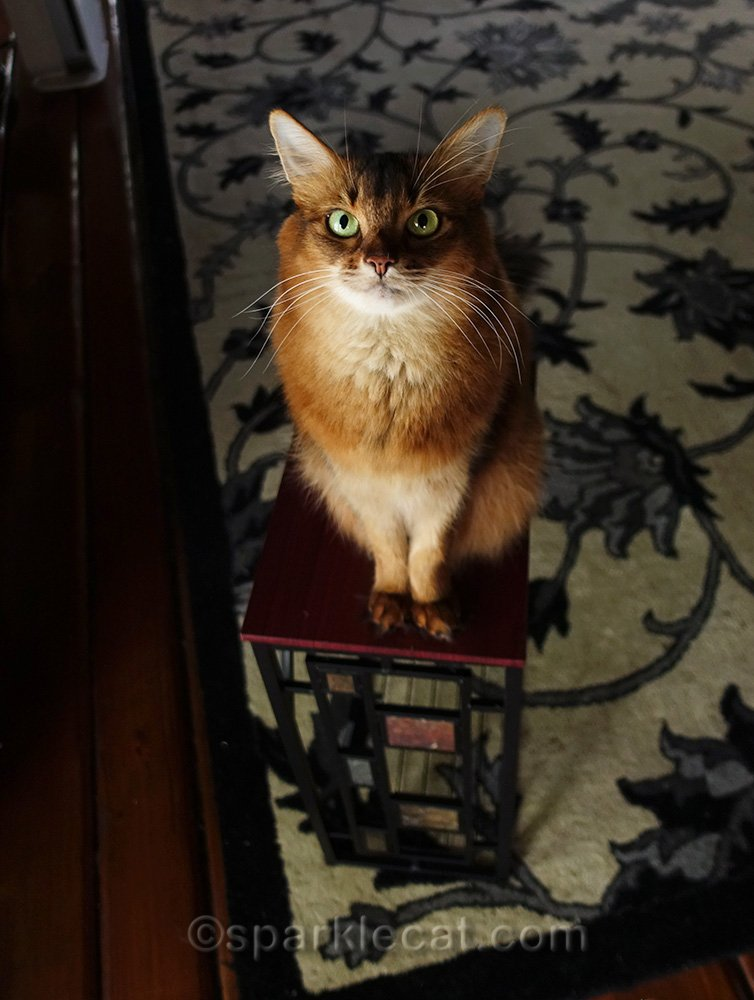somali cat sitting on completed side table