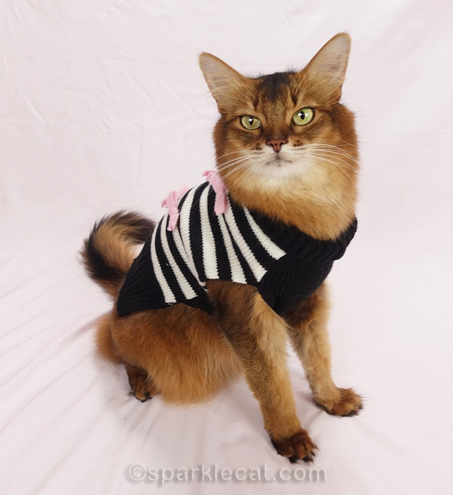 somali cat wearing black and white striped cat sweater