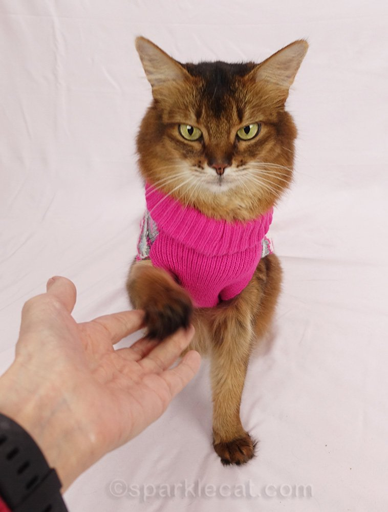 somali cat in sweater giving paw