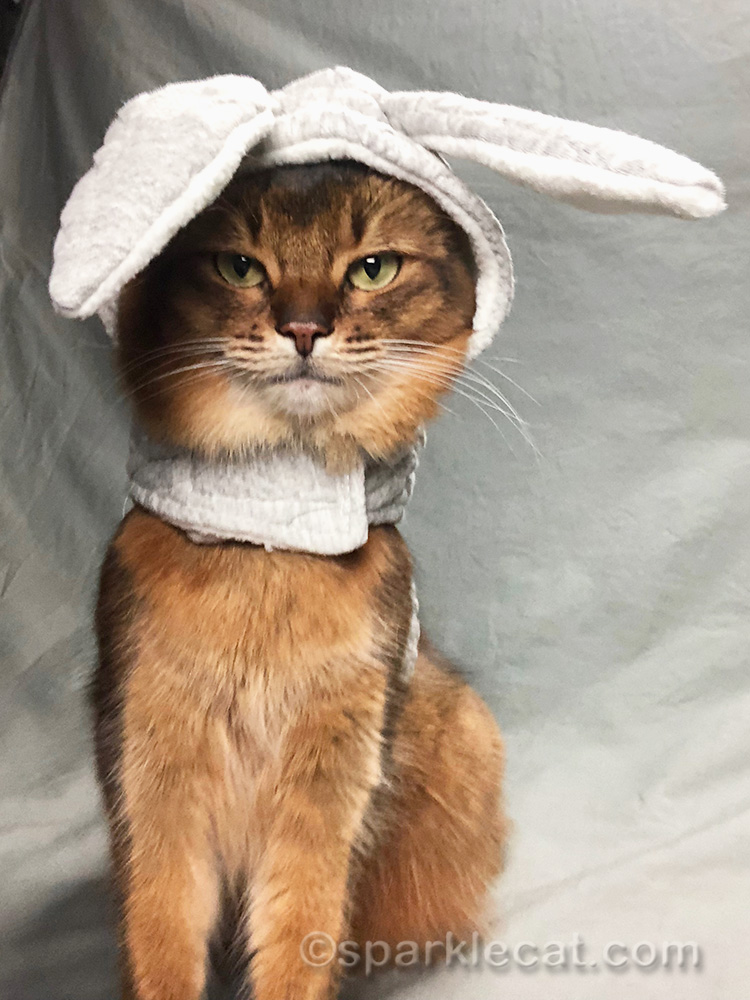 somali cat in bunny outfit, looking awkward