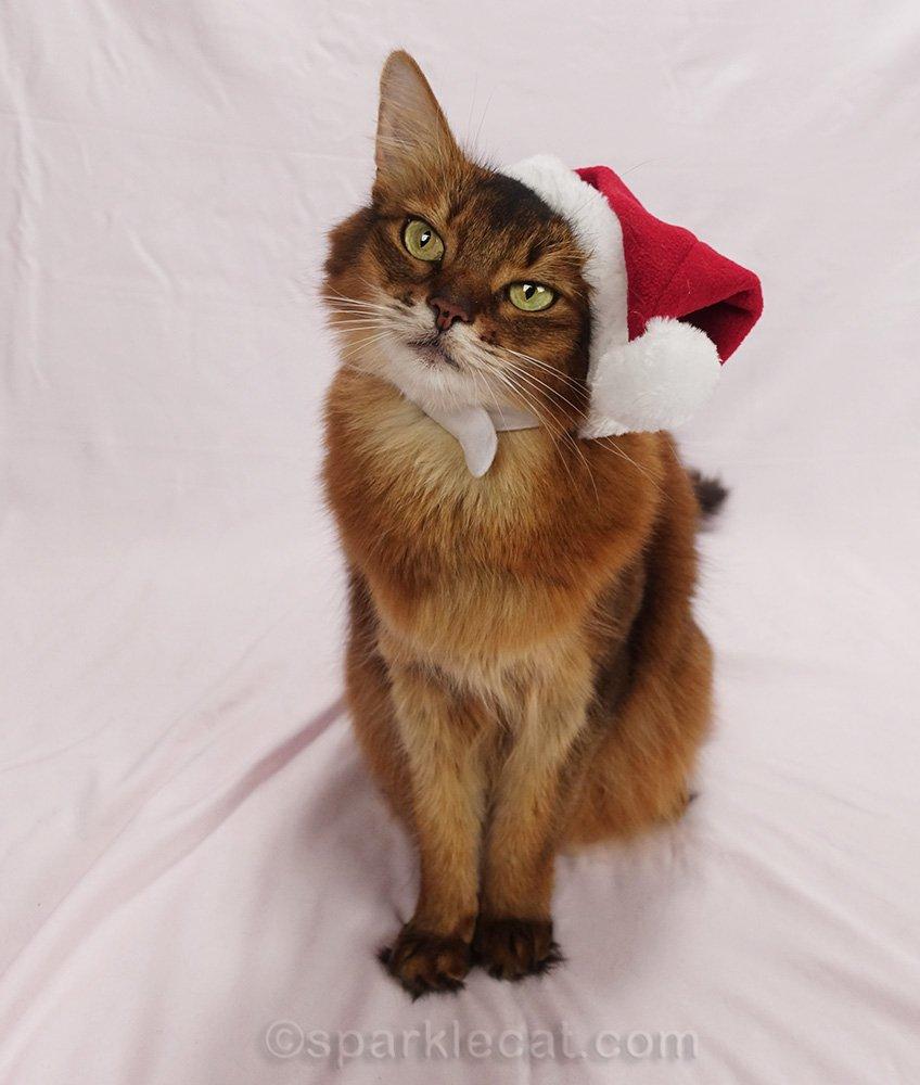 Somali cat wearing a santa hat