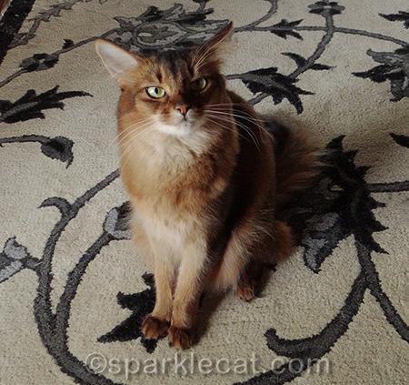 somali cat, mad cat, airplane ears