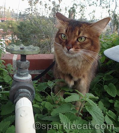 somali cat, airplane ears, catnip plants, catnip garden
