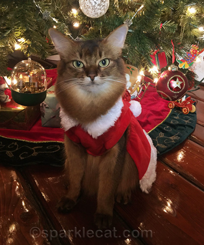 somali cat wearing dress in front of Christmas tree