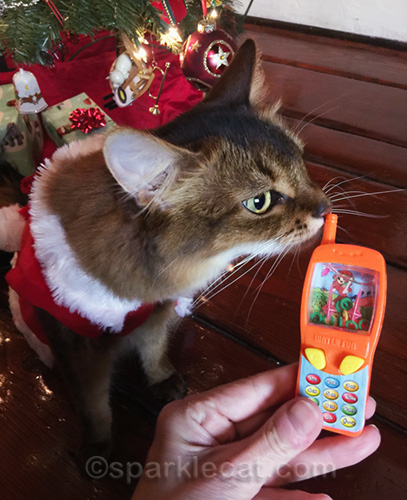 somali cat sniffing phone toy