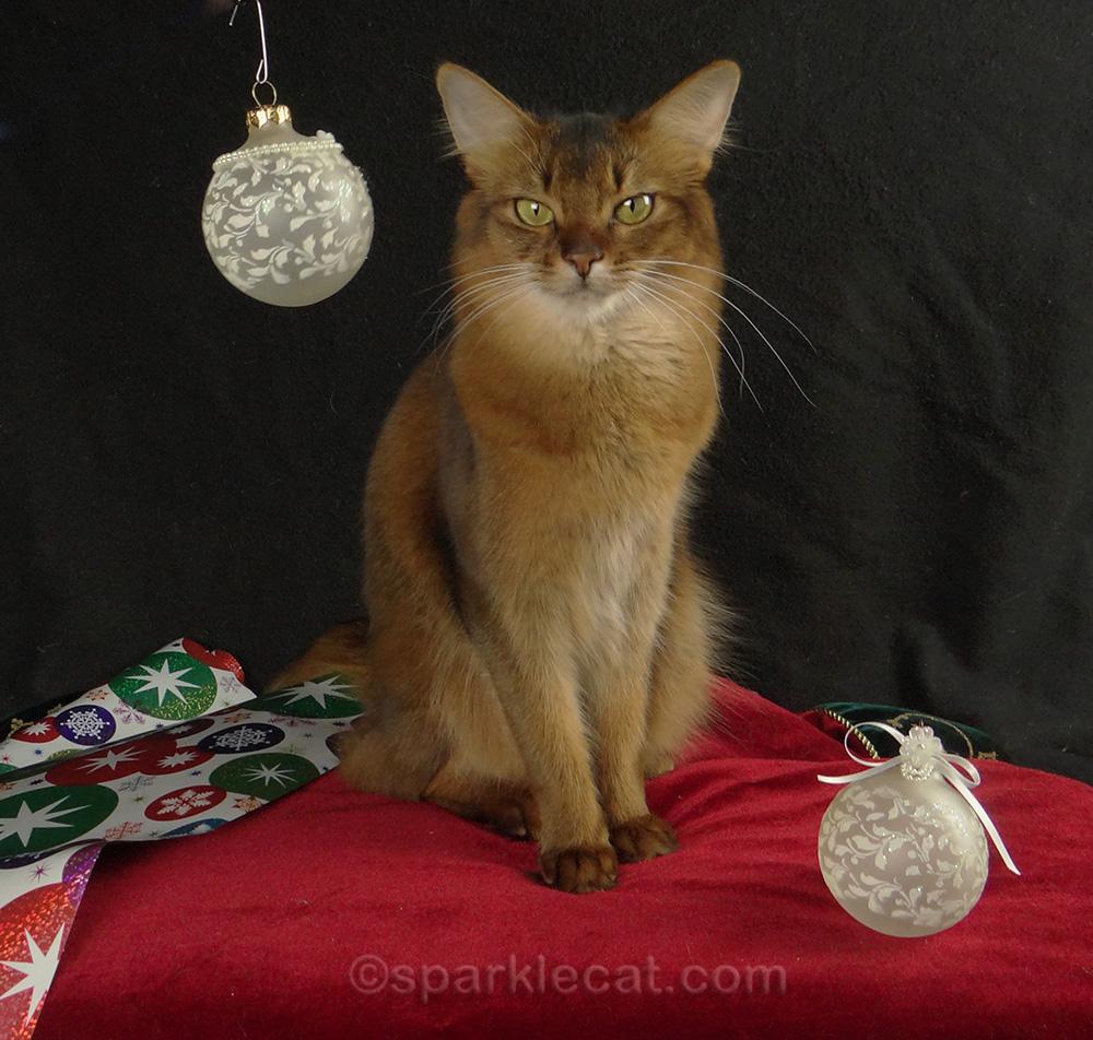 somali cat posing for christmas shoot, 2015