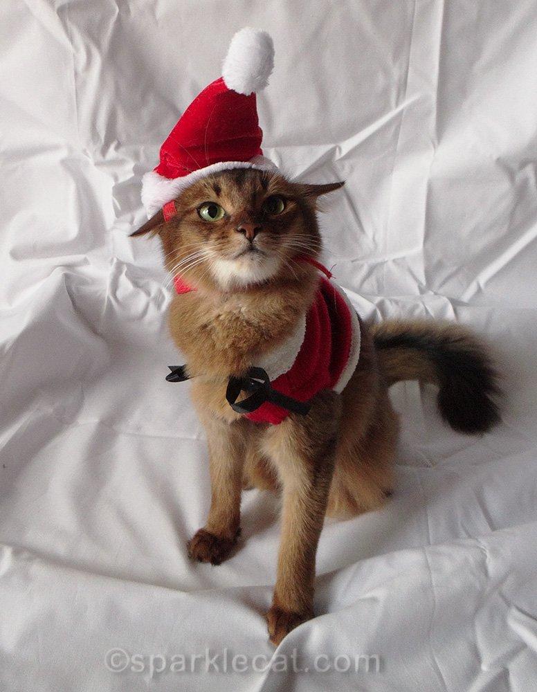 somali kitten wearing funny Santa hat