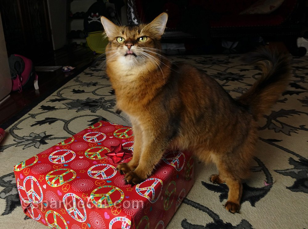 somali cat with wrapped christmas gift, sticking out her tongue