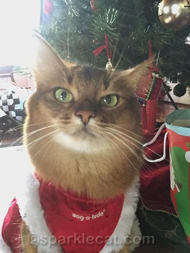 somali cat annoyed with bad lighting for selfie
