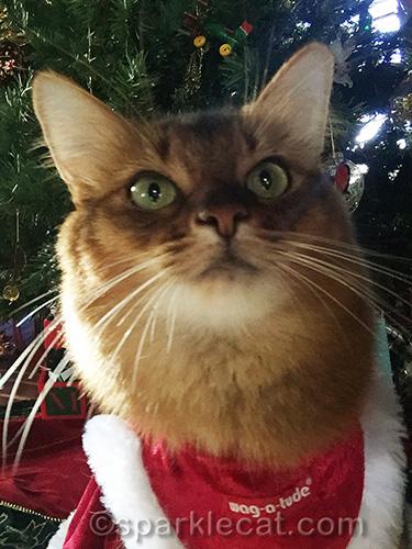 somali cat in Christmas cat dress taking selfie