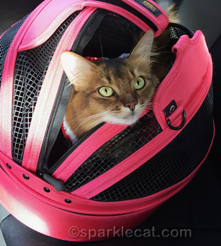 somali cat in her Sleepypod carrier after her therapy cat visit the day before Christmas