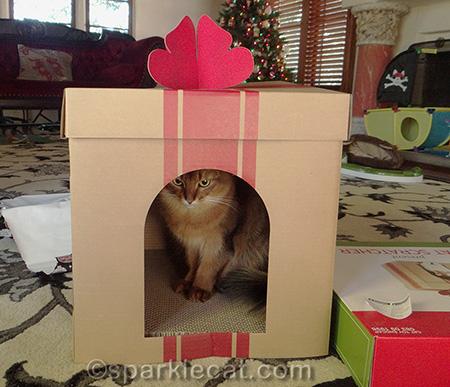 Somali cat, Christmas present scratcher