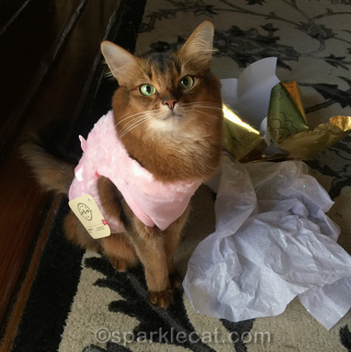 somali cat wearing her new pink sweater coat