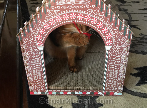 somali cat playing with cat toy in cat scratcher house