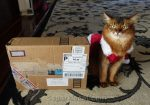 Disgruntled somali cat with secret paws gifts