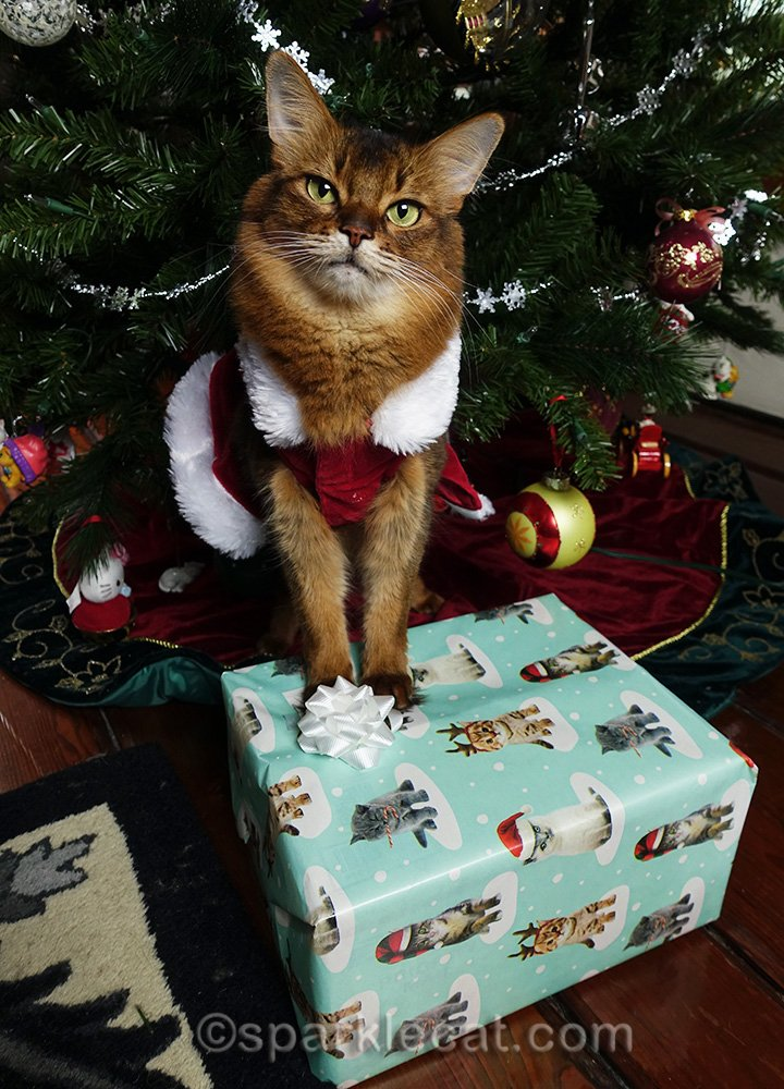somali cat waiting for help to open her Christmas gift