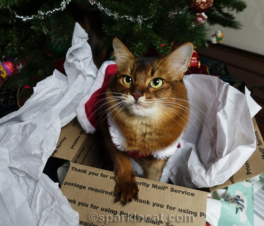 somali cat happy that she got a box and tissue paper as Christmas gift
