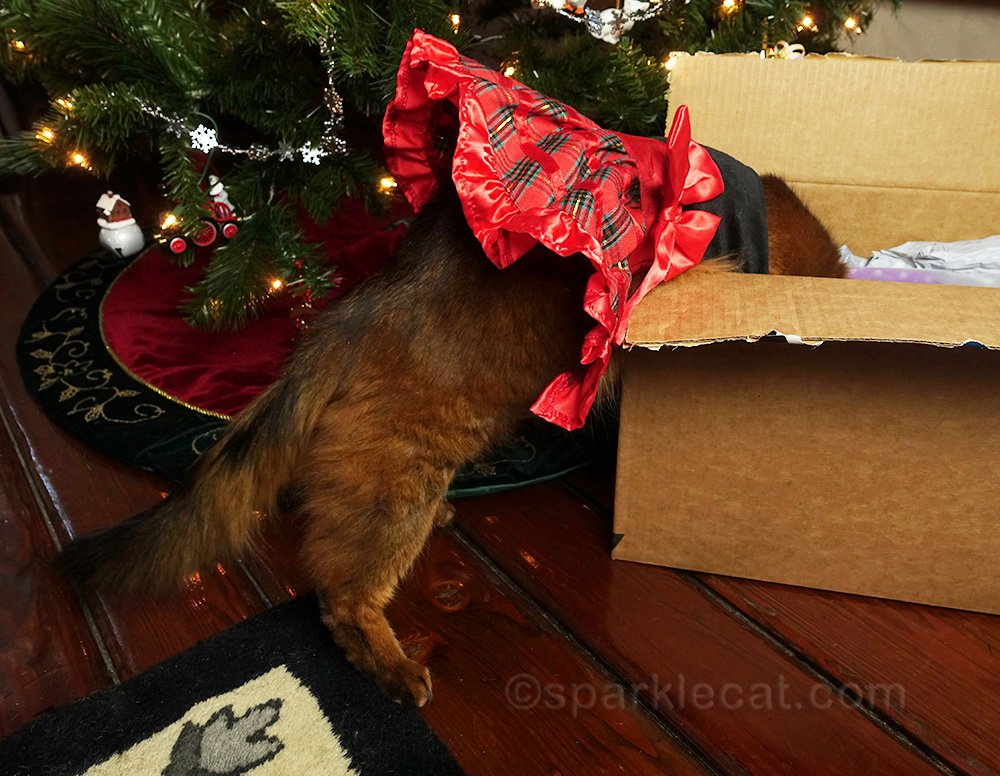 somali cat in dress, looking at presents in box