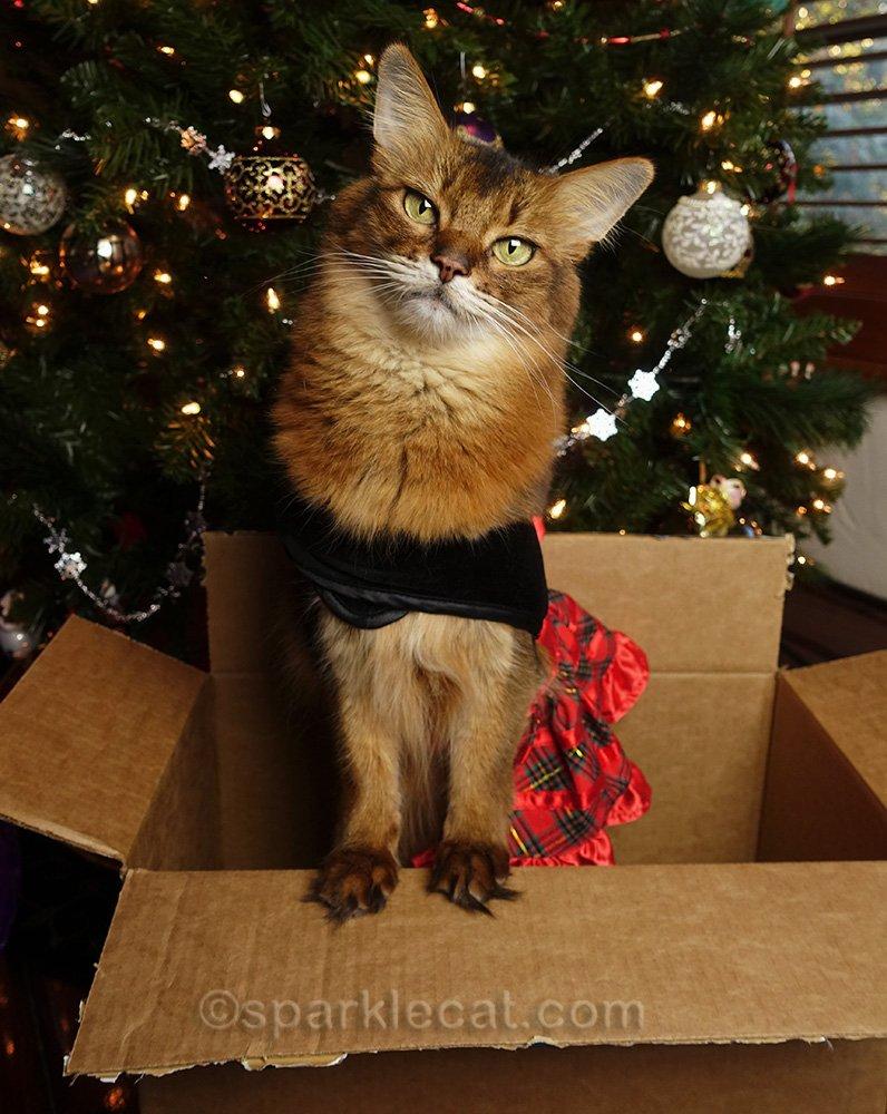 somali cat in festive dress, in box