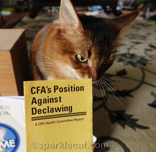somali cat looking at CFA pamplet against declawing