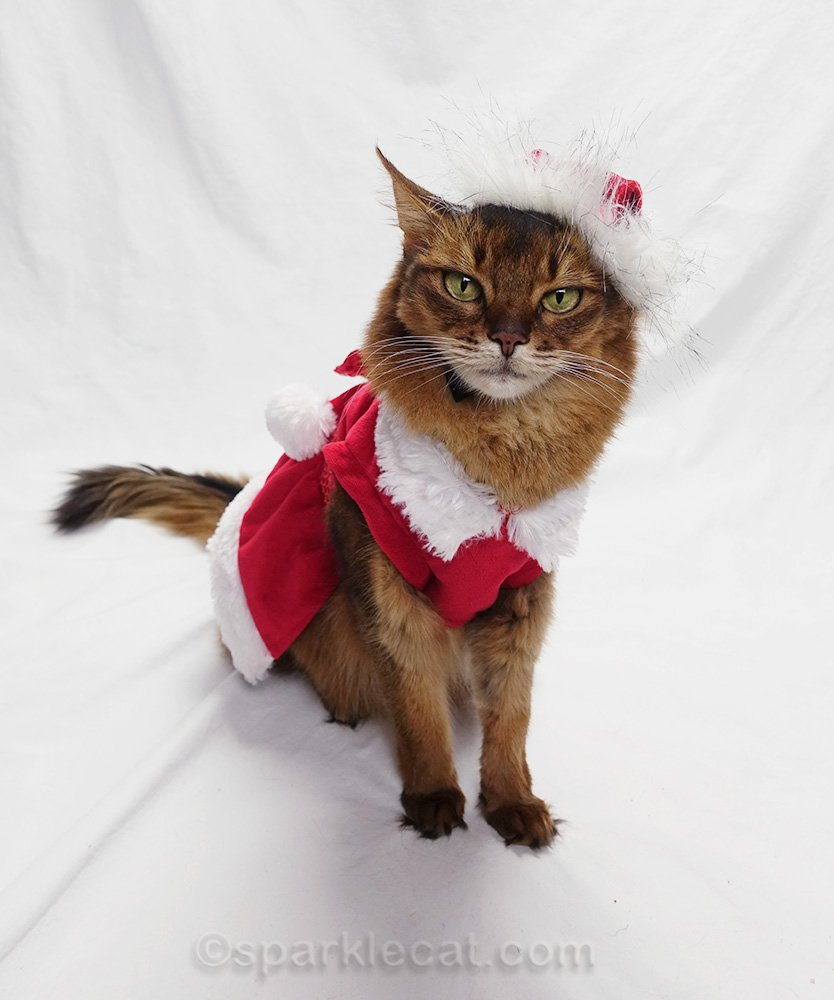 somali cat a little miffed about wearing Santa hat