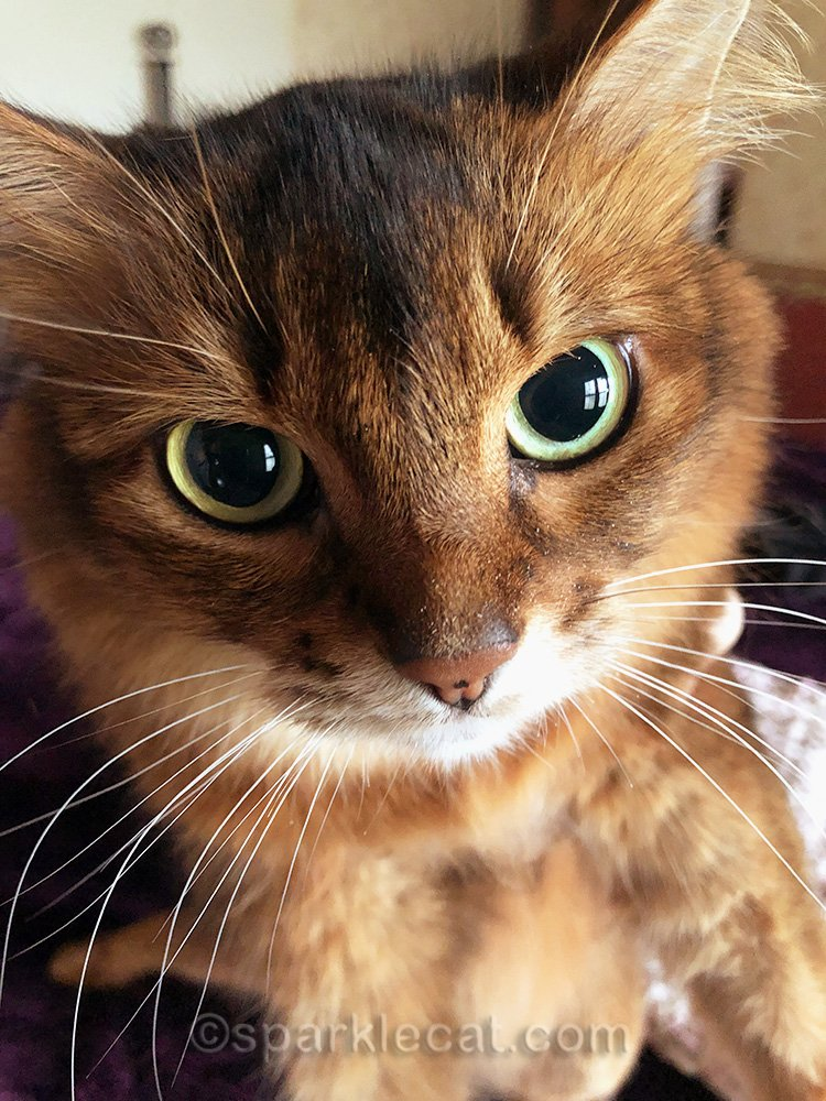 somali cat looking annoyed