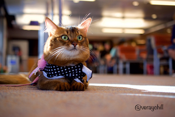 somali cat at airport - photo by guest photographer Raychel K. Young