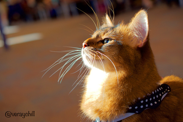 side view of somali cat at airport - photo by Raychel K. Young