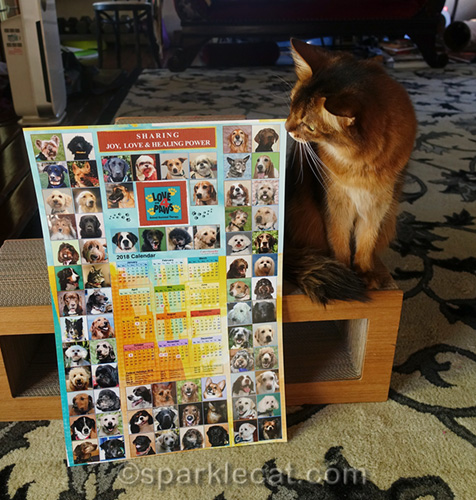 somali cat looking at therapy pet calendar