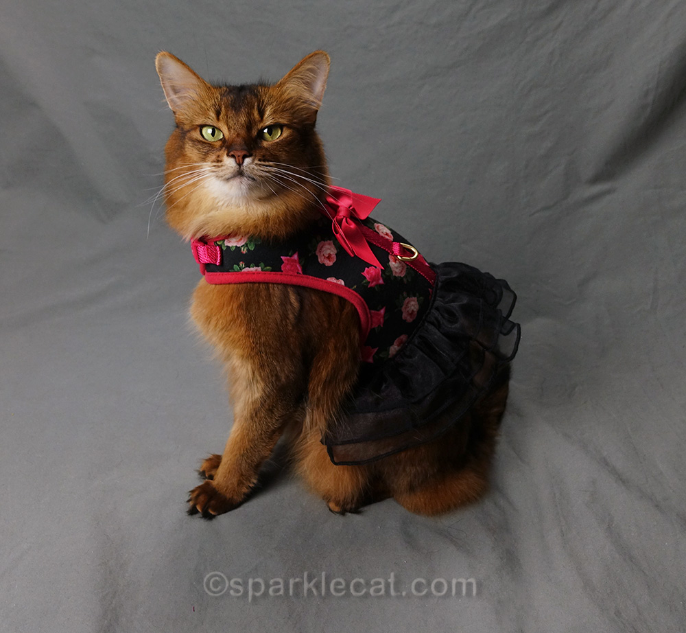 somali cat in one of her favorite outfits of 2018