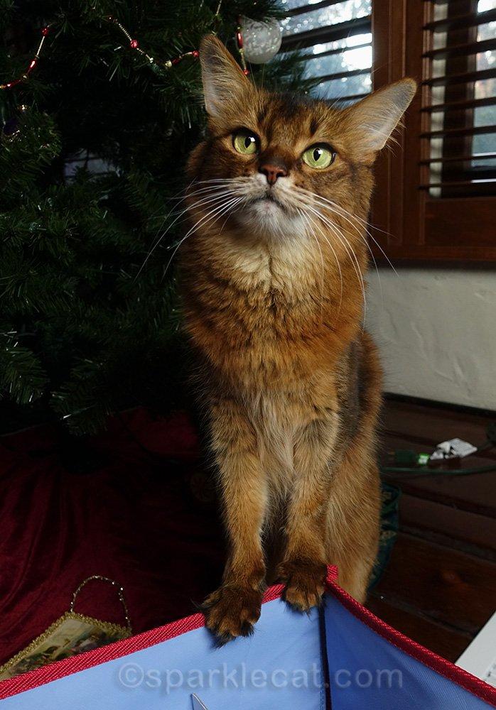 somali cat helps human take down the tree