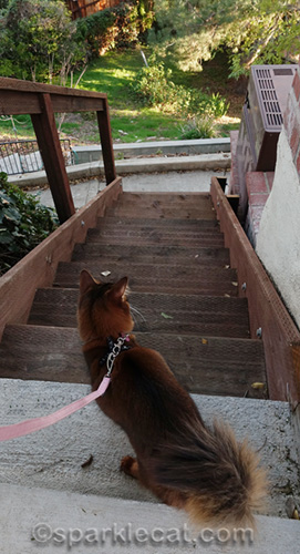 somali cat looking down outdoor stairs to backyard