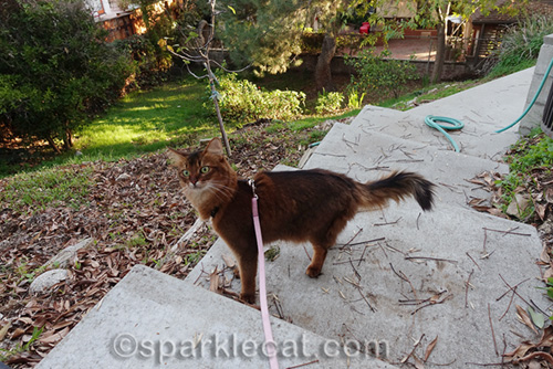 somali cat looks in amazement at her backyard