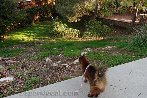 Somali cat looks into her backyard