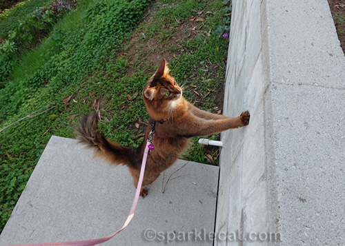 somali cat about to jump onto retaining wall