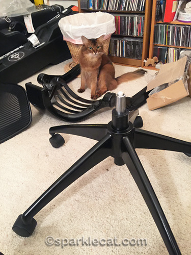 somali cat looking at chair legs and wheels