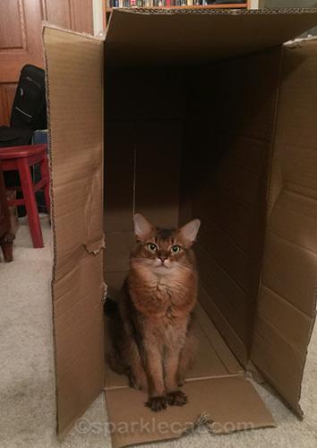 somali cat sitting in big box