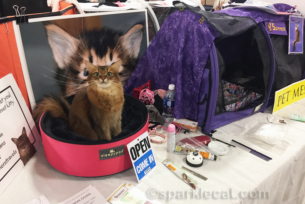 somali cat at the San Diego cat show 2018