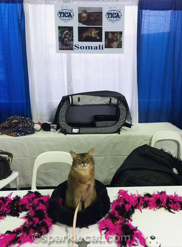 somali cat at Meet the Breeds in New York