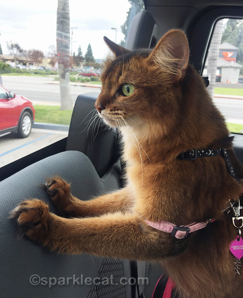 somali cat in car with flat tire