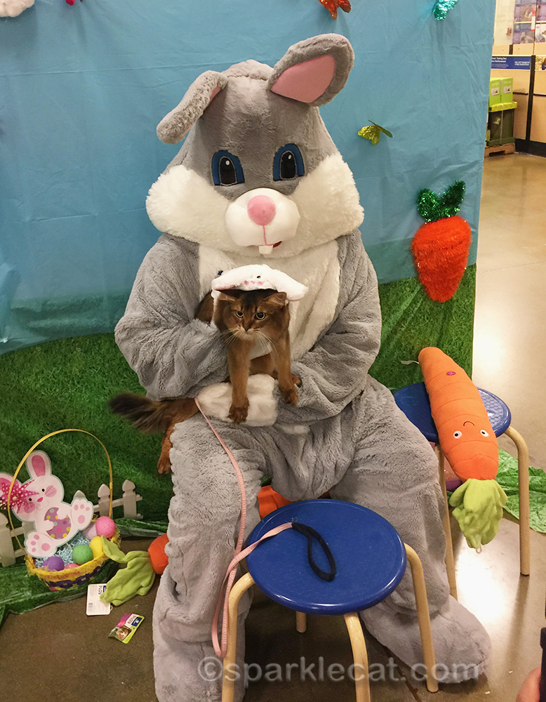 somali cat posing with the easter bunny
