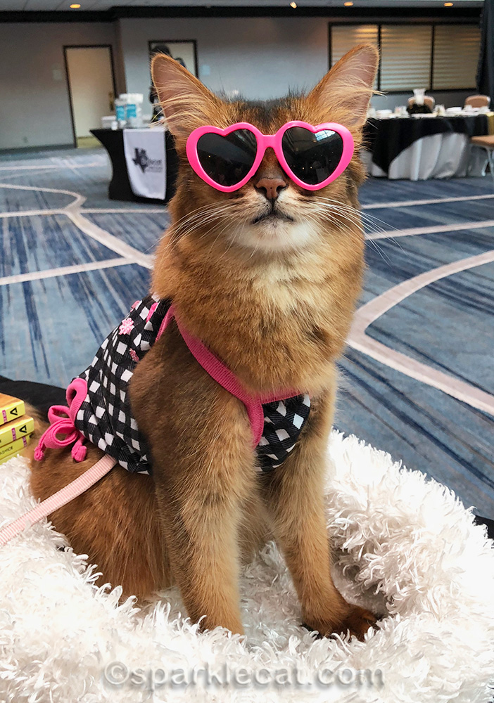 somali cat in sunglasses at the Cat Writers Conference