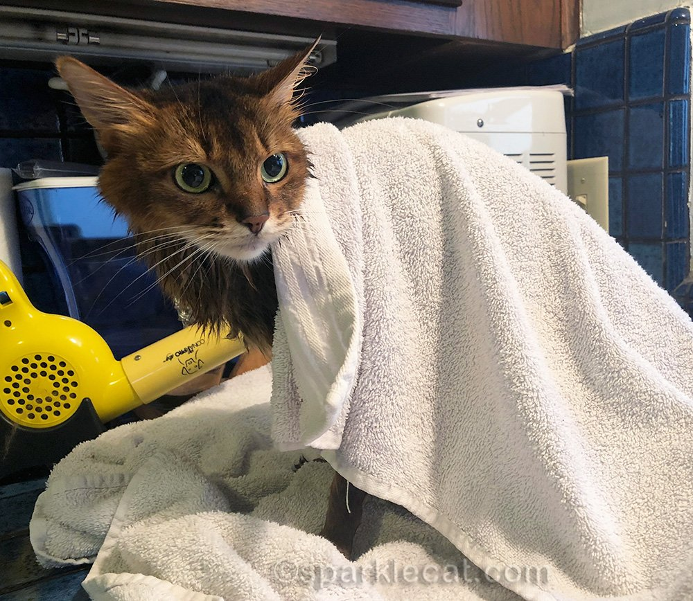 somali cat getting towel dried after bath