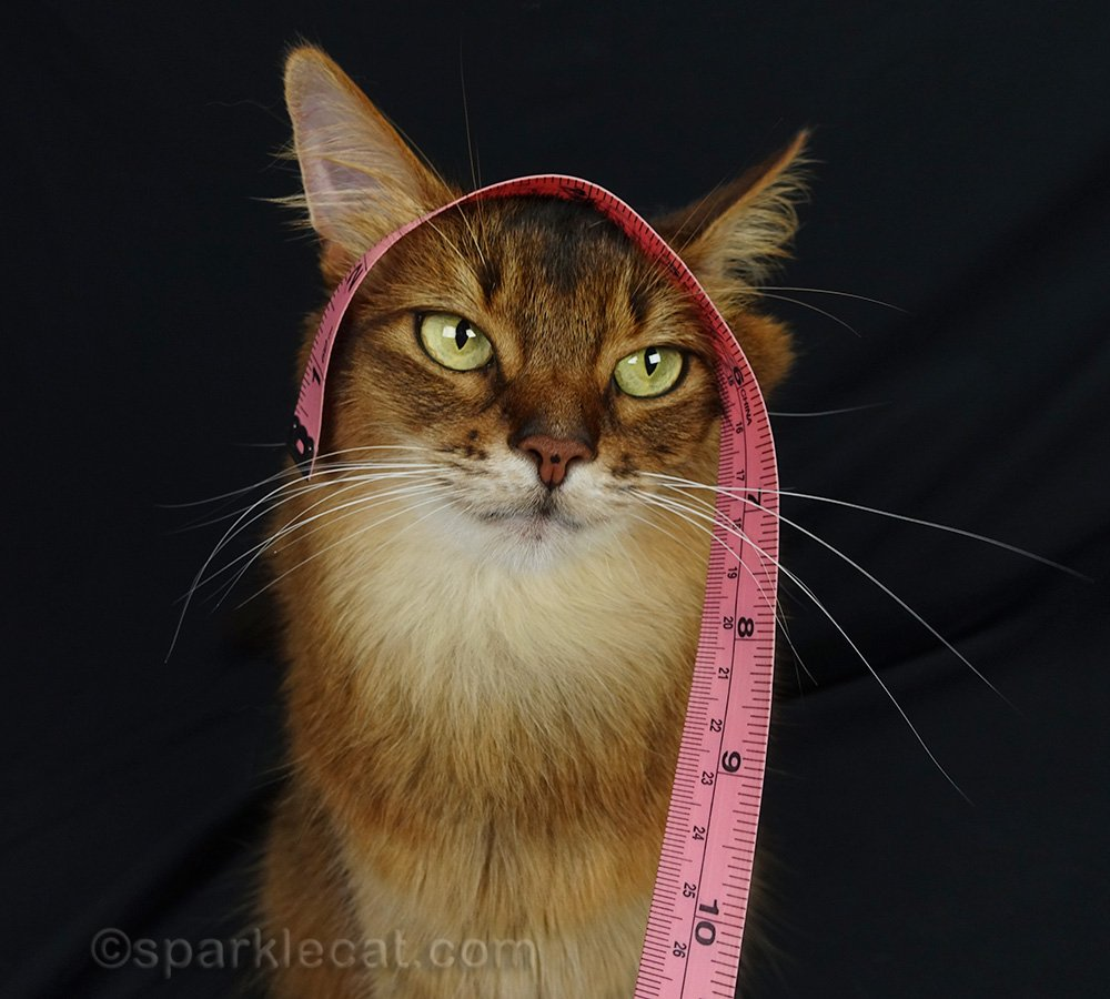 somali cat with measuring tape on her head