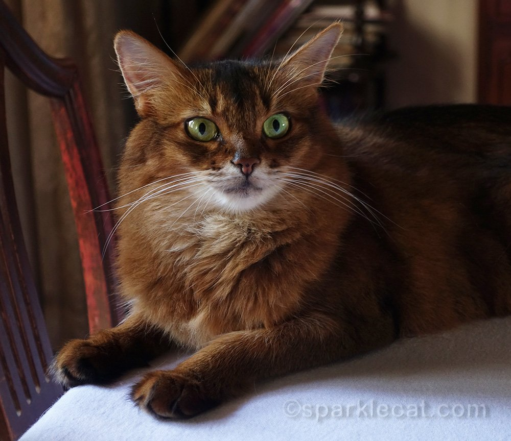 somali cat on dining room table